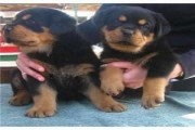 two beautiful registered male and female Rottweiler  Puppies
