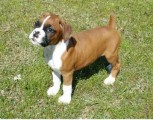 Boxer Puppies for Adoption. They are both male and  Female