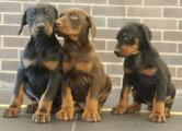Exceptional K.c Reg Doberman Pinscher Puppies For Sale, 9 Week O