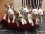 Quality English Bull Terrier Puppies Kc Registered  For Sale