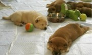 Two Shiba Inu Puppies For Sale
