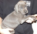 Fantastic Blue Great Dane Puppies