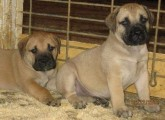 Mastiff Pups For a cute home with much love and affection