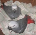Chrirstain home seeking to give out pair of African grey for ado