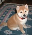Shiba Inu Puppies now Available 2222