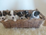 Short Legged Jack Russlle Puppies for sale