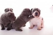 6 Stunning Kc Registered Shar Pei Puppies