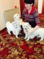 Samoyed Puppies For Sale *ready Now*