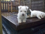 Gorgeous West Highland Terrier Puppies Ready For New Homes