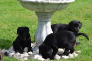 Show Quality Chocolate & Black Pups Available