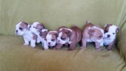 Lovely English Bulldogs For Sale *** Ready Now ***
