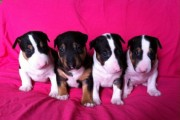Kc Reg English Bull Terrier Puppies For Sale