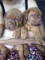 Pedigree Dogue De Bordeaux  Puppies Ready Now
