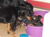 Doberman Puppies 2 Baby Girl And 3 Boy for sale
