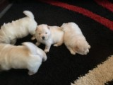 Beautiful Pure-bred Chow Chow Boy Puppy For Sale