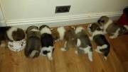 Quality Beautiful Ready Now Kc Reg Quality Akita Pups
