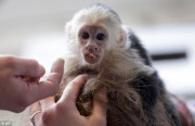 Socialized monkey babies for sale ( Capuchin, squirrel and Marmo