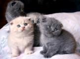 Scottish Fold Kittens for good homes..