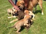 Full Pedgree Kc Reg Bullmastiff Puppies For Sale