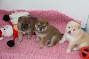 Quality Shiba Inu Puppies Available