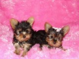 Cute And Adorable Yorkie pups For New Home