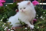 All White Persian Kitten  for sell