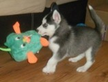 Excellent Male And Female Siberian husky.