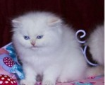 Good Face White Persian Female Kitten For Sell