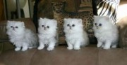 ADORABLE Persian Kittens for Sale