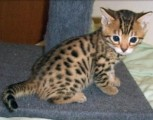 Wonderful Bengal Kittens available for sale.