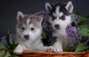 Female and Male Siberian Husky for Sale