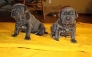Neapolitan Mastiff Puppies 34567