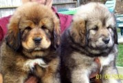 Tibetan mastiff Puppies for adoption11123456