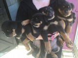 Beautiful  Rottweiler Puppies For Sale