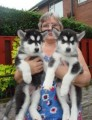 Amazing male and female Siberian Husky Puppies
