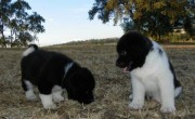 Extra Charming First Class Male And Female Akita