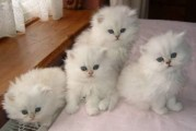 Adorable Persian Kitten For Sale