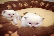 Home Raised Ragdoll Kittens For Sale