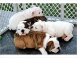 amazing English Bulldog Puppies for sale