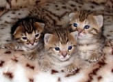 Male and female African Serval Kitten For Sale   Male and female