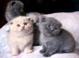 Kittens Scottish fold for Adoption.,.