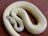 Cute male and female ball python for sale