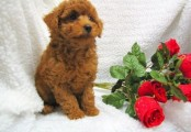 Poodle Puppies For Sale.