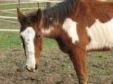 Paint/Pinto - Belle - Large - Senior - Female - Horse - Please C