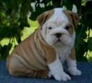 Awesome English Bulldog puppies for free adoption