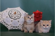Scottish Fold Kittens for sale 0009