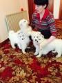 Pedigree Samoyed Puppies For Sale