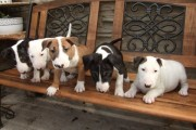 ***two Top Quality English Bull Terrier Puppies - Photo 1Tops***