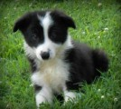 Border Collie Puppies for Sale111