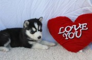 11 Weeks Siberian Husky Puppies Available